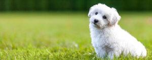 BichonFrise apartment dog
