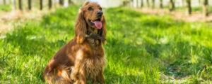 Cocker Spaniels apartment dog