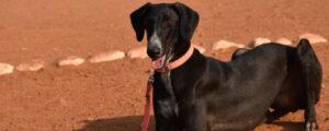 Indie Dog breeds  apartment dog