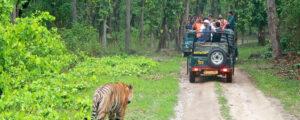 tiger safari on your next vacation